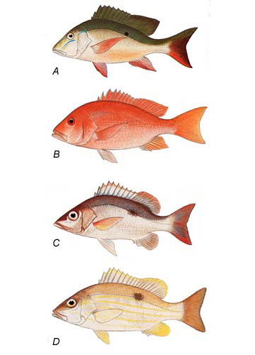 Pics for snapper fish species for Types of red fish